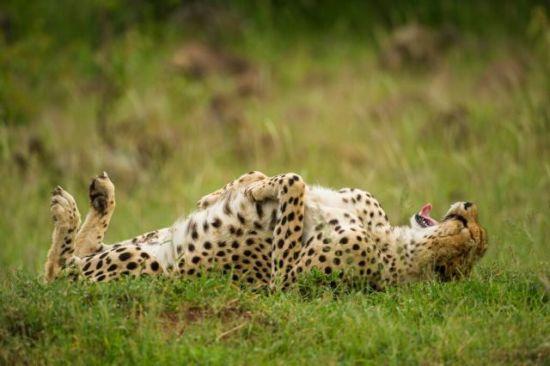 Cheetah, Jeff Derx photographer