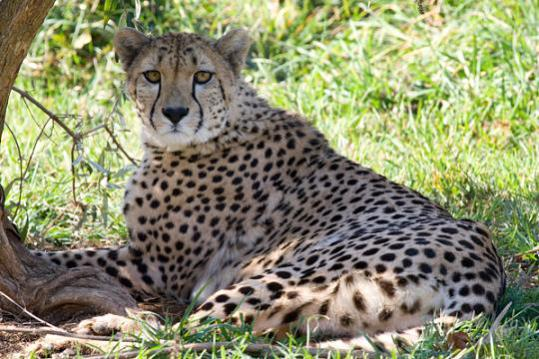 Ally, first-tiime mother cheetah: Photo by Adrienne Crosier