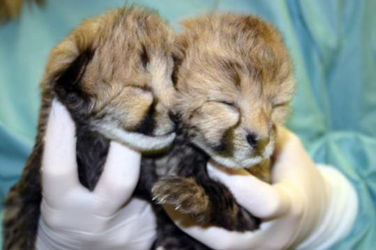 Cheetah cubs at two-days old: Photo by Adrienne Crosier