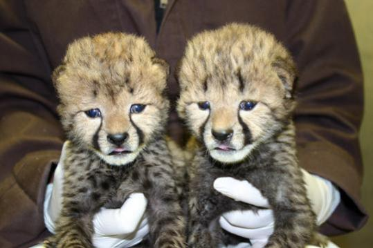 Cheetah cubs at two-weeks old: Photo by Adrienne Crosier