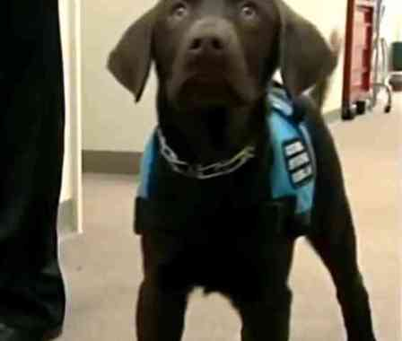 Banting, A Diabetic Alert Dog (You Tube Image)