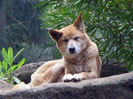 Dingo (Photo by SeanMack/Creative Commons via Wikimedia)