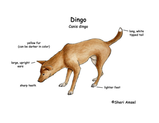 Diagram of dingo with white-tipped feet and tail: image via exploringnataure.org
