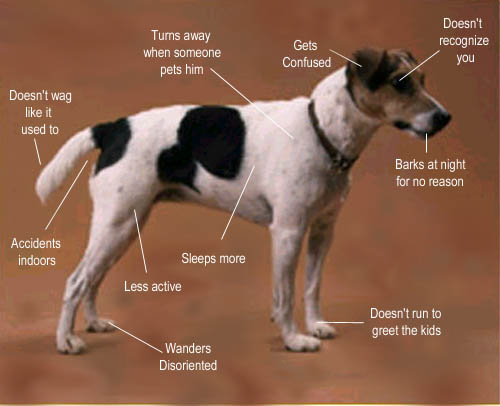 Dementia signs in dogs