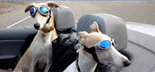 Doggie Sunglasses Goggles  fashionable dog glasses are also protective petslady com