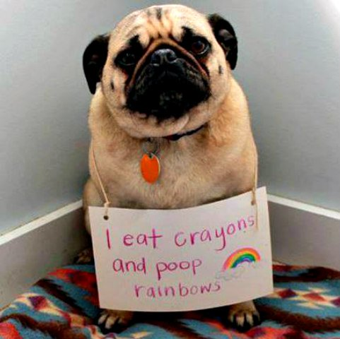 Dog shaming of pug