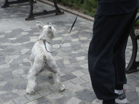 Dog Walking (Photo by Snowacinesy/Creative Commons via Wikimedia)