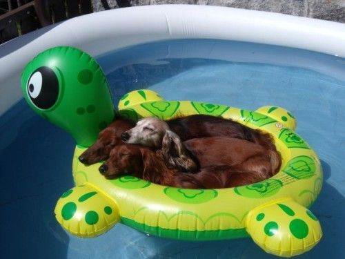 Dog Relaxing in the Pool (Photo via SkunkWire)