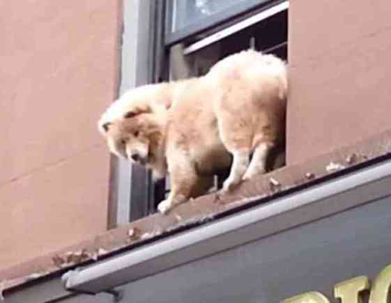 Dog On A Ledde In Brooklyn (You Tube Image)