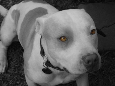 American Pit Bull Terrier (Photo via Creative Commons via Wikimedia)