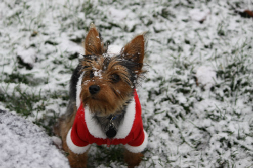 Dog Coats in Holiday Styles: Dog clothing should be warm & functional for outdoor use