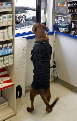 BP gas station's special attraction: A Labrador Retriever attendant