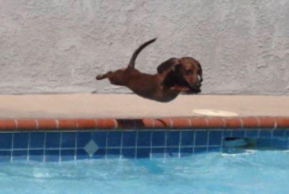 Cute Diving Dachshund (Photo via Imgur)