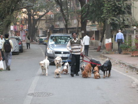 Dog Walker in India (Public Domain Image)
