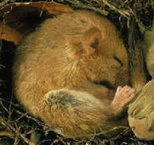 British dormouse