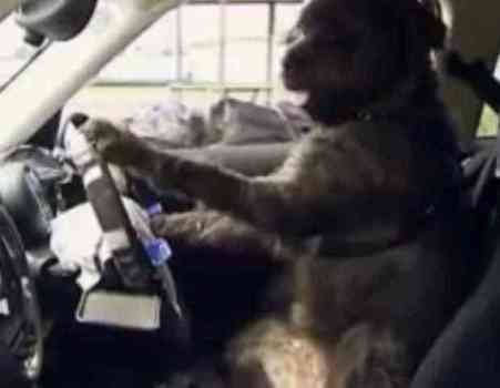 Monty the Dog Driving a Car (You Tube Image)