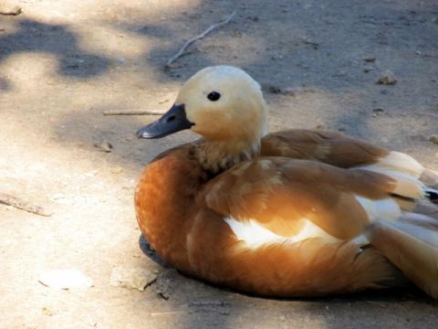 Ruddy Duck (Photo by KCZooFan/Creative Commons/Wikimedia)