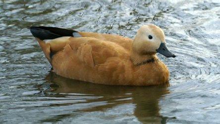 Ruddy Duck (Photo by Ken Billington/Creative Commons/Wikimedia)