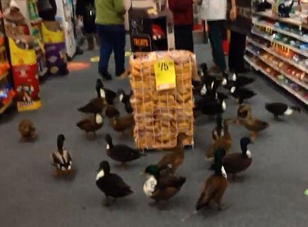 Ducks doing a little shopping (You Tube Image)