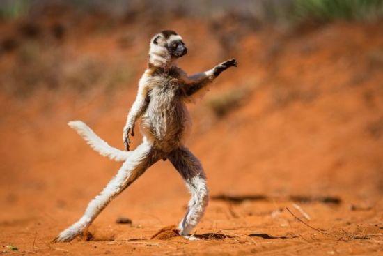 Dancing Verreaux's Sifaca, Photographer Alison Buttigieg