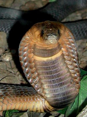 Egyptian Cobra (Photo by John Walker/Creative Commons via Wikimedia)