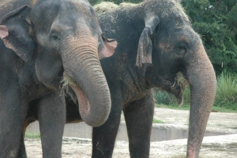 Asian Elephants (Public Domain Image)