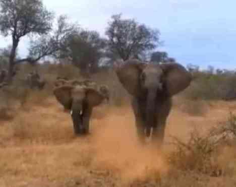 Charging Elephants Hold Back (You Tube Image)