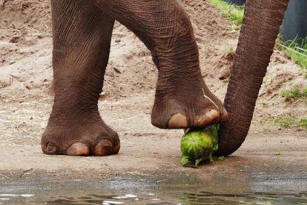 Elephant Enjoying Watermelon (Photo: Fir002/Flafstaffotos (http://www.gnu.org/licenses/licenses.html#FDL) via Wikimedia