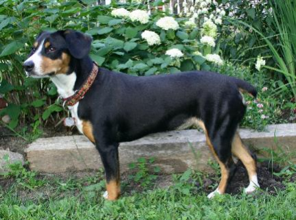 Entlebucher Mountain Dog: image via pgaa.com