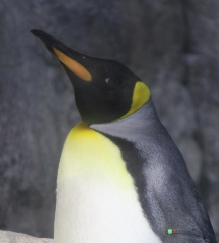 A King Penguin