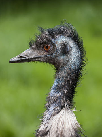 Emu (Photo by William Warby/Creative Commons via Wikimedia)