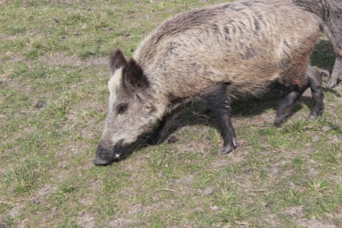 Eurasian boars aren't nearly as large as the giant forest hog, and a 400 pound Eurasian boar is no joke!