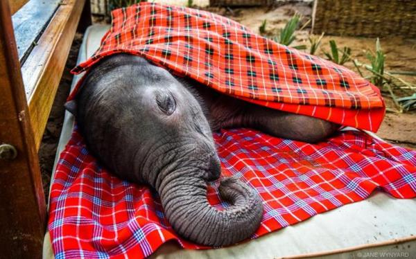 Lost Baby Elephant Rescued From Croc-Infested River