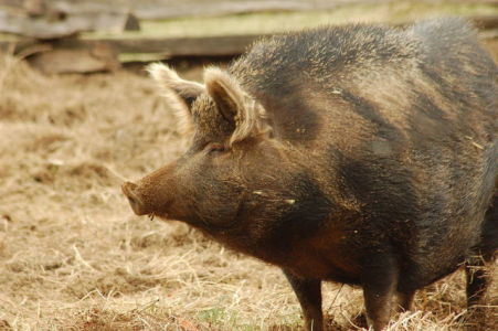 Feral Hog (Photo by Carly & Art/via Creative Commons via Wikimedia)