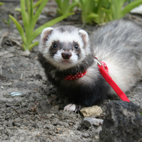 ferrets as small pets