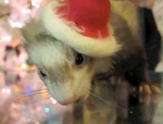 A Ferret Santa (You Tube Image)