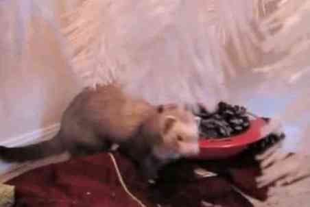 A Ferret Under the Christmas Tree (You Tube Image)