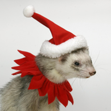 Ferret In Santa Hat And Christmas Collar