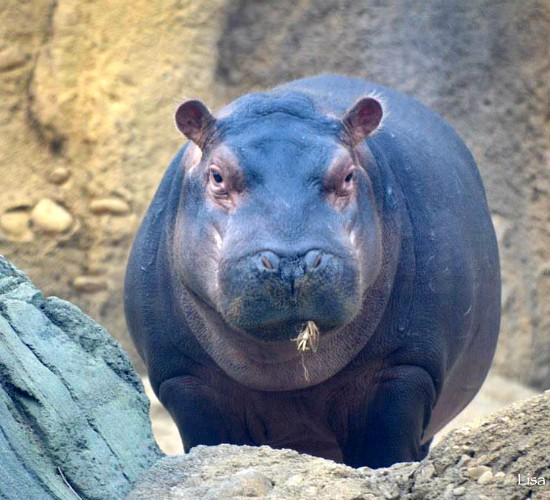 Fiona the hippo turns 1