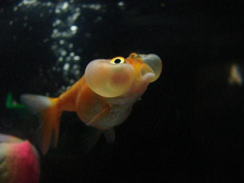 Bubble Eye Goldfish (Photo by Jordan Hartig/Creative Commons via Wikimedia)
