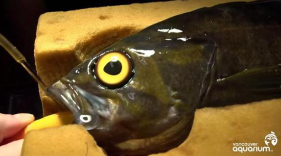 Rockfish Surgery (Image via YouTube)