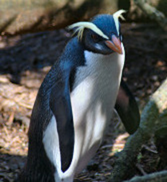 Fjordland Penguin (Photo by Thomas Mattern/Creative Commons via Wikimedia)