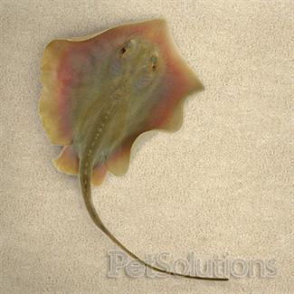 Freshwater Florida stingray