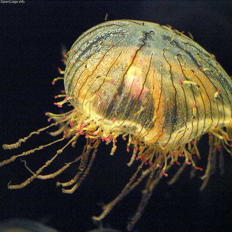 Flower hat jellysfish: Flower hat jellyfish are among the animals housed at the New York Aquarium.
