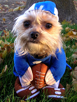 Silky Terrier in football gear: image via people.com
