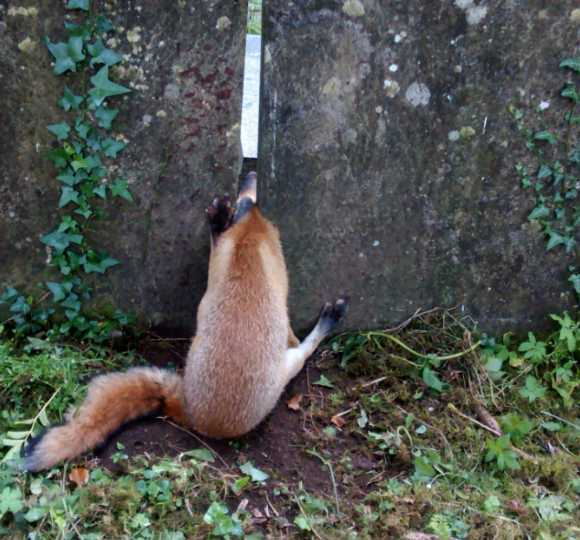Fox With Head Stuck Between Headstones Is Rescued Tomb Morrow