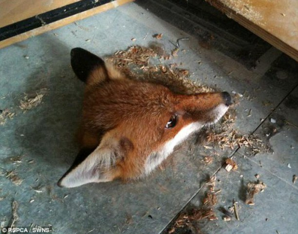 Construction workers were welcomed to work by this odd image of a fox's head stuck in a hole. Photo: RSPCA