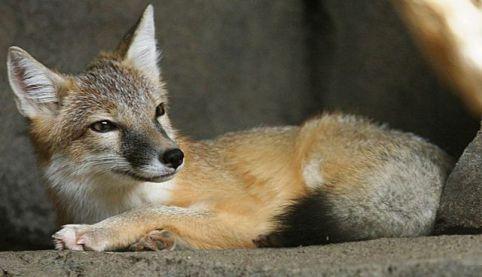 Relaxing Fox (Photo by Cburnett/Creative Commons via Wikimedia)