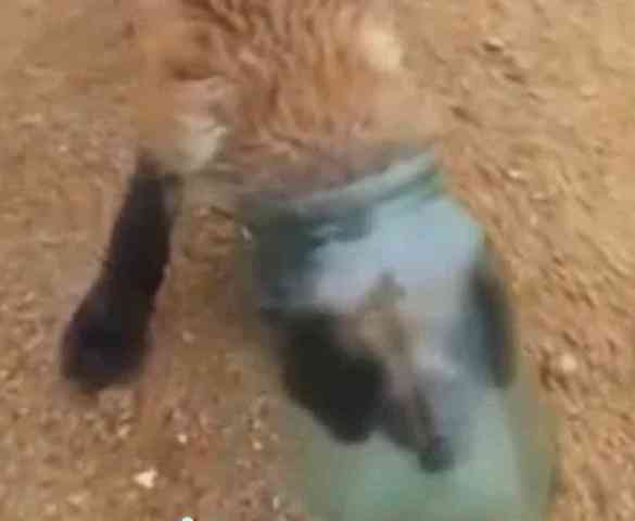 Fox with its Head Stuck in a Jar (You Tube Image)