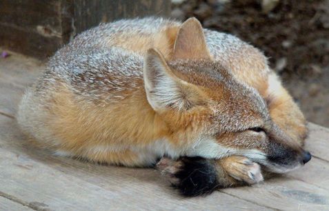 Sleeping Fox (Photo by Kilarin/Creative Commons via Wikimedia)